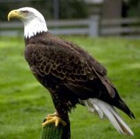 Adler klein