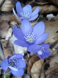 Leberblümchen_Frühjahrserwachen_Alina Kumaris_www.dhyana.at