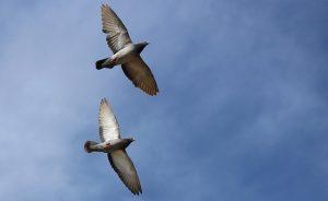 Tauben im Flug-Bild von AdinaVoicu auf pixabay