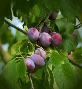Pflaumenbaum-Bild von congerdesign auf pixabay