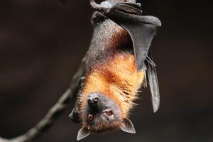 Fledermaus-Bild von Signe Allerslev auf pixabay